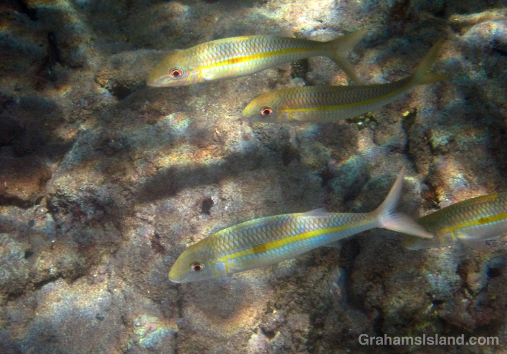 Square-spot goatfish swim in the waters off the Big Isalnd.