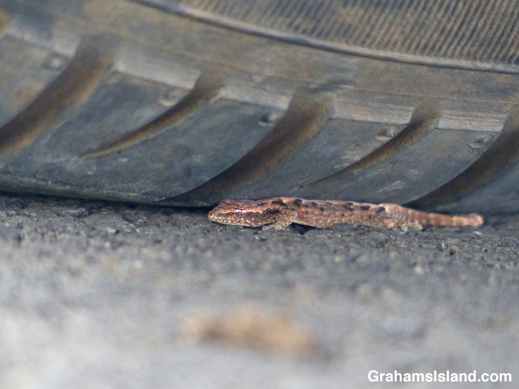 A young mourning gecko hides under a tire.