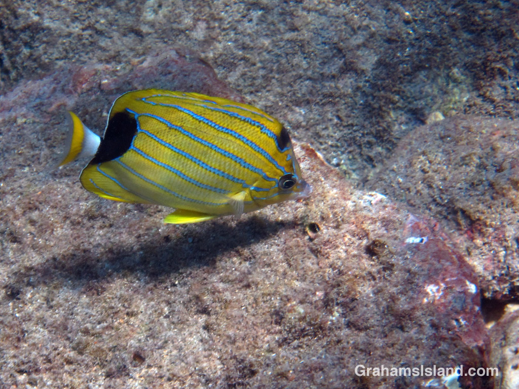 A bluestripe butterflyfish swims in the waters off the Big Island of Hawaii.