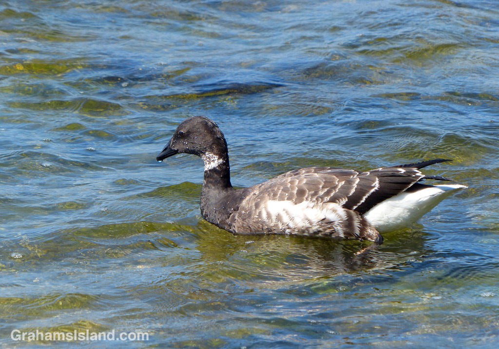 A brant goose at Kaloko-Honokohau National Historical Park, north of Kona