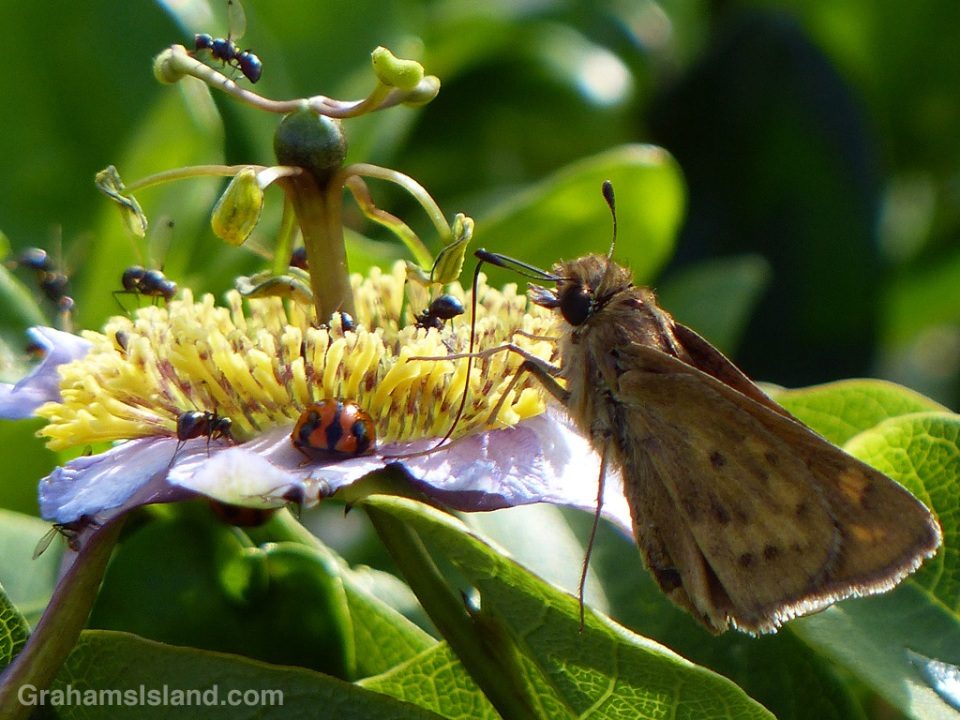 A variety of bugs feed on a passion flower.