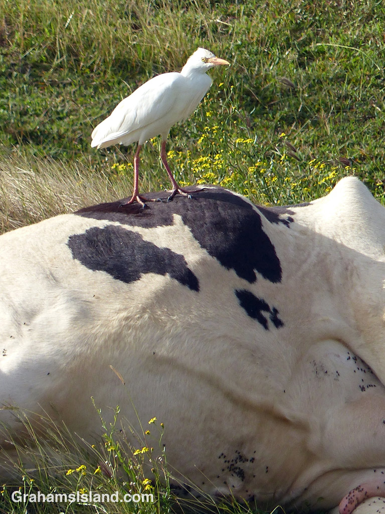 A cattle egret stands on a resting cow.