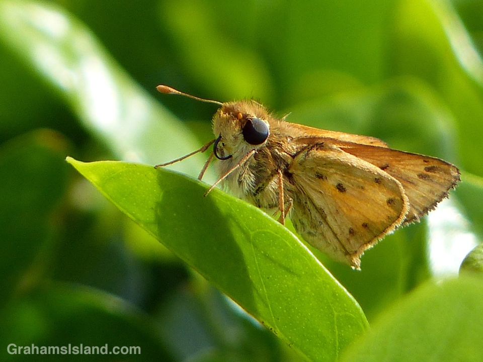 A male fiery skipper butterfly sits on a leaf pondering its next move.