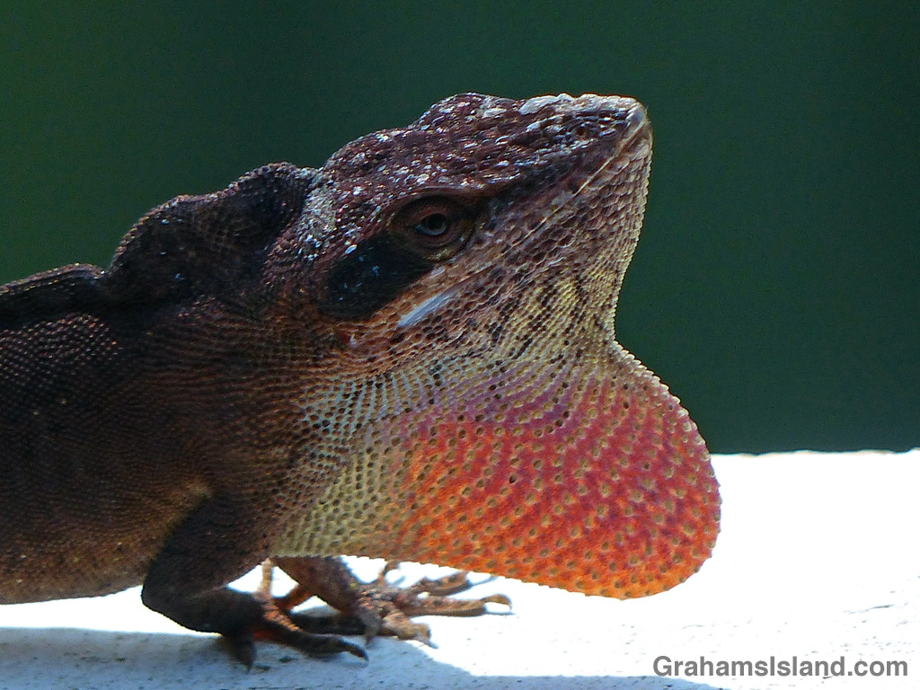 A green anole puffs out its dewlap and raises the ridge on its neck in a display or aggression.