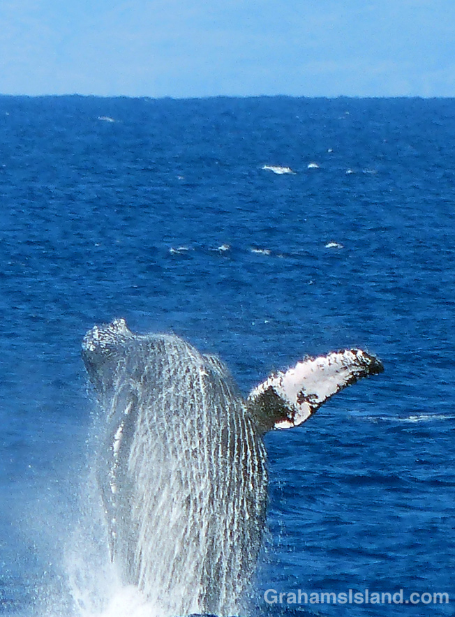 A humpback whales breaches off the Big Island