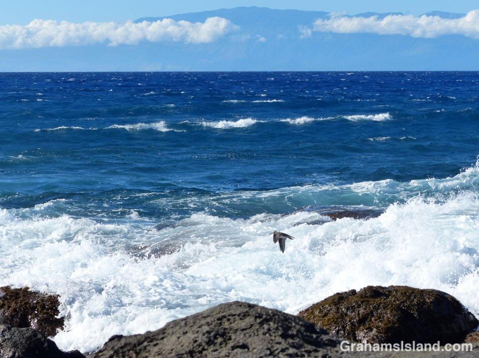 A wandering tattler flies along the Kohala coast