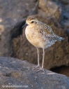A Pacific golden plover soaks up the late afternoon sun on the Kohala coast.