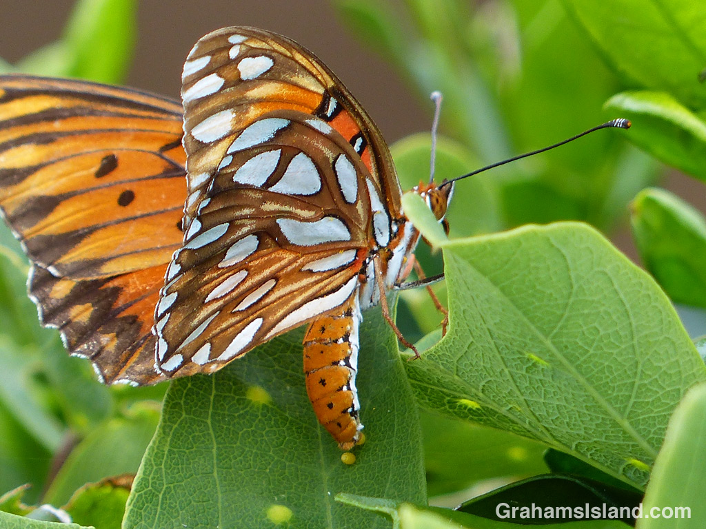 A passion vine butterfly lays an egg.