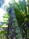 A satin pothos climbs a tree in Hawaii Tropical Botanical Garden.