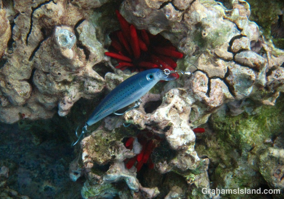 A silver hookfish lurks on a head of coral.