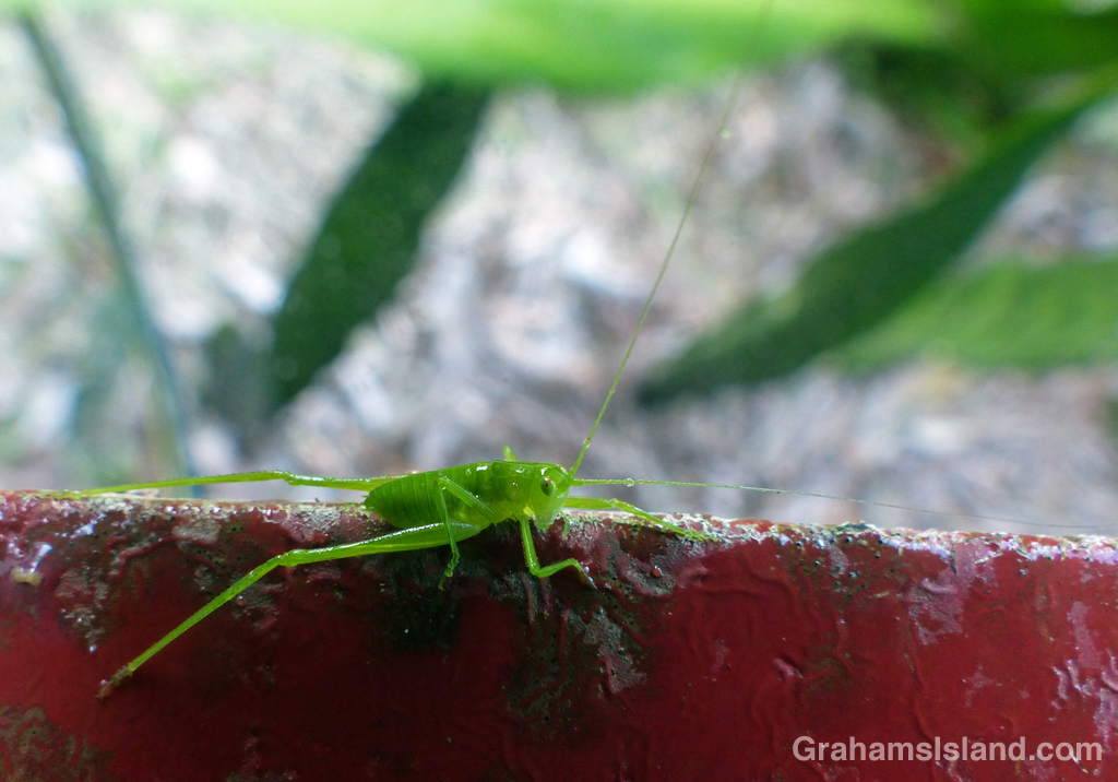 A young katydid sits on a step