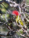 A Hawaii amakihi, an endemic honeycreeper, feeds at an ohia blosson amid a tangle of branches.