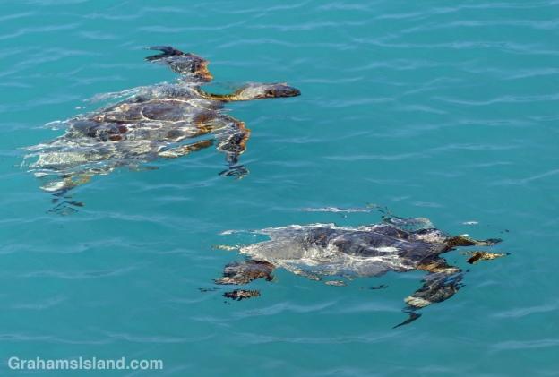 two Hawaiian sea turtles look like an impressionist painting as they swim underwater