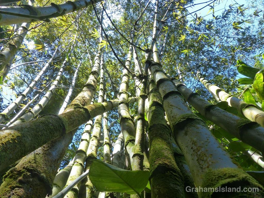 A clump of Beechey bamboo on the Big Island of Hawaii