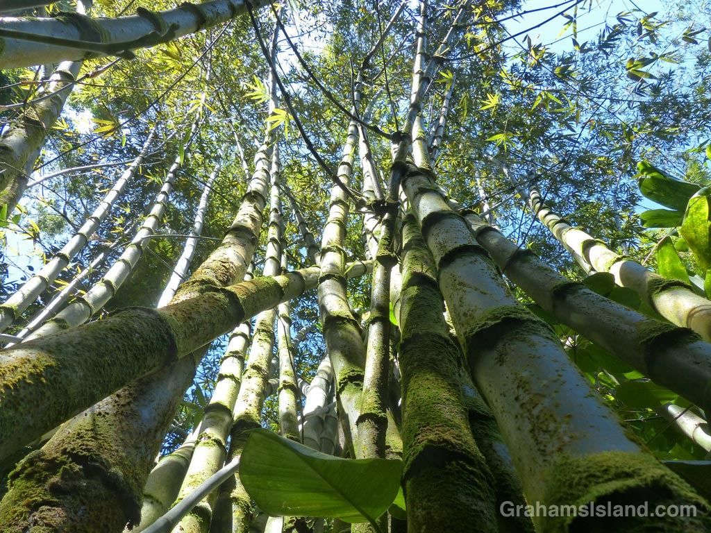 A clump of Beechey bamboo on the Big Island of Hawaii