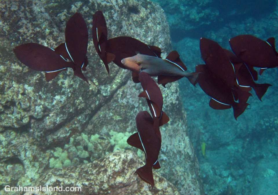 A group of black triggerfish gather in the waters off the Big Island of Hawaii