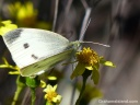 A cabbage butterfly drinks from a flower