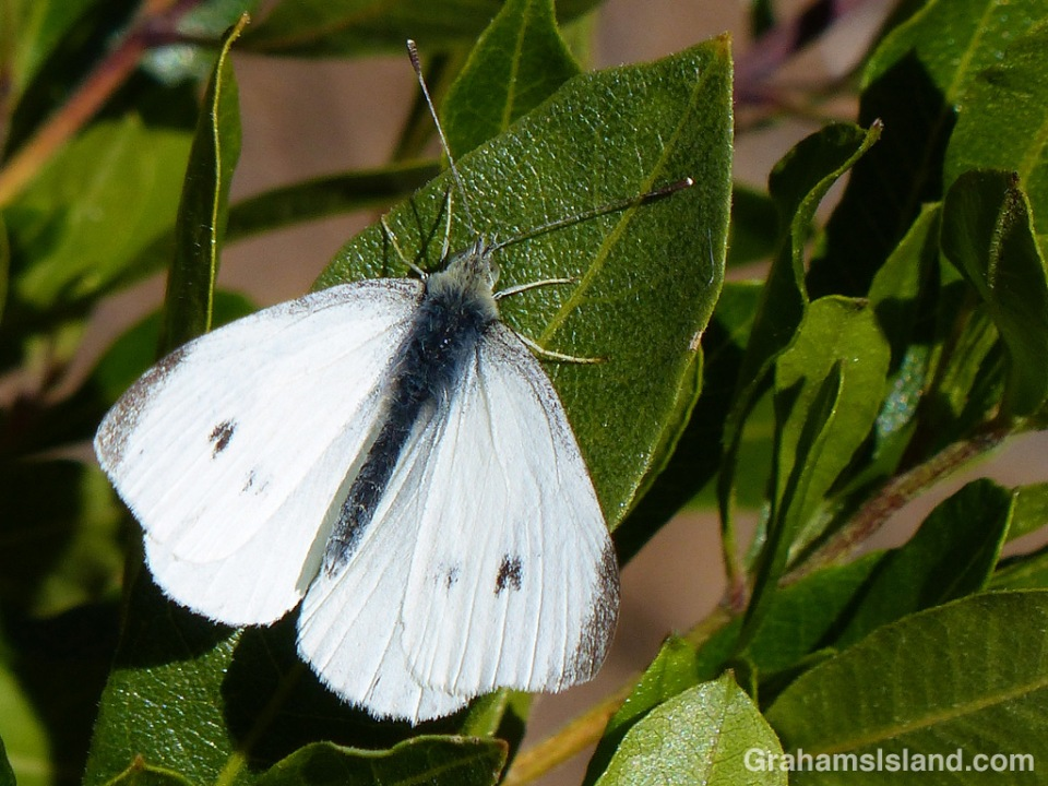 A cabbage butterfly rests on a leaf