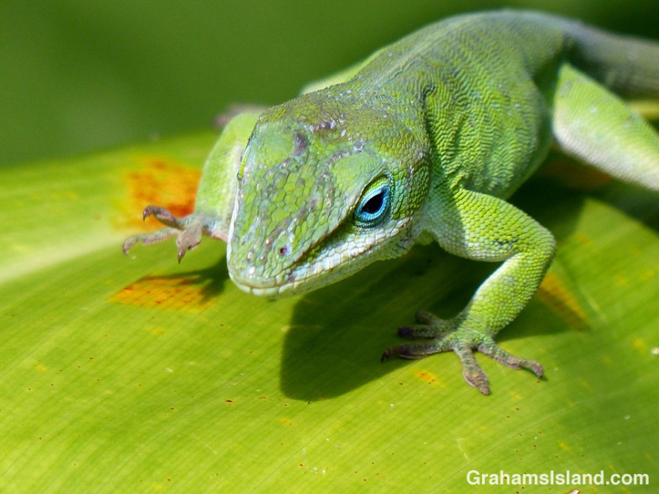 A green anole clumps across a ti leaf.