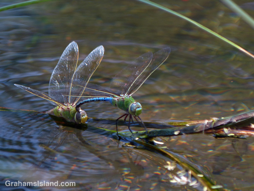 Green darner dragonflies mating at Kiholo on the Big Island of Hawaii.