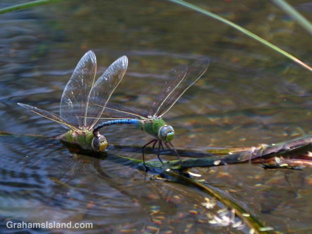 Green darner dragonflies mating at Kiholo on the Big Island of Hawaii.