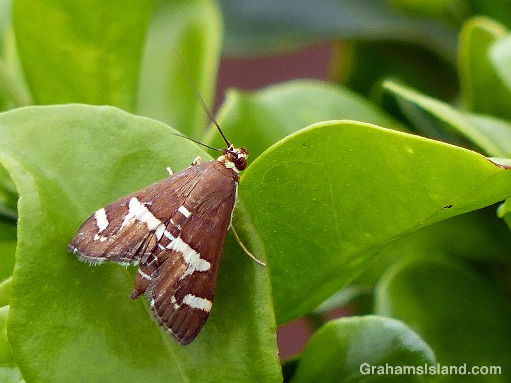 A Hawaiian beet webworm moth rests on a leaf