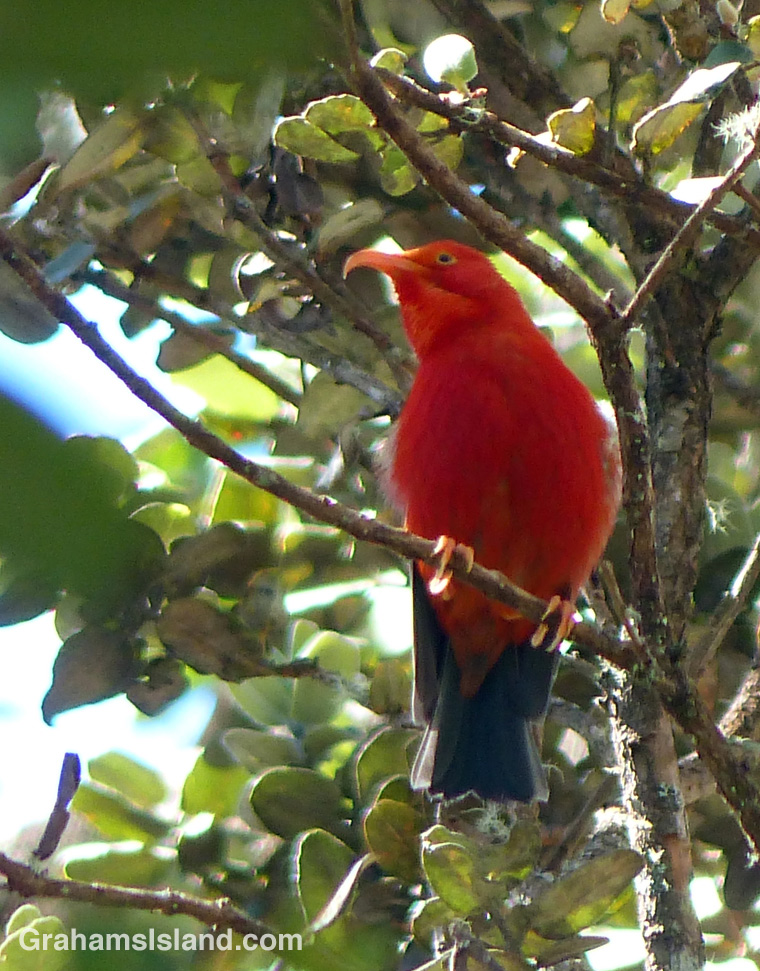 The I'iwi (vestiaria coccinea) is a native Hawaiian honeycreeper