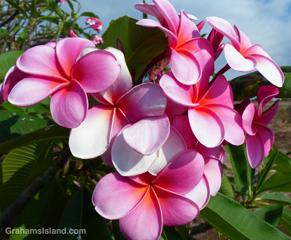 Plumeria flowers are widely used in leis.