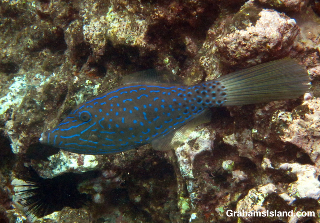 When the sun catches a scrawled filefish right, its blue scribbles shine in the water.