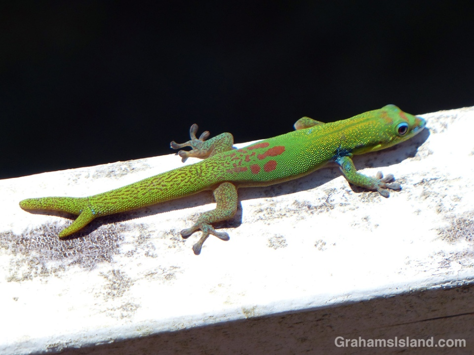 A gold dust day gecko with a forked tail.