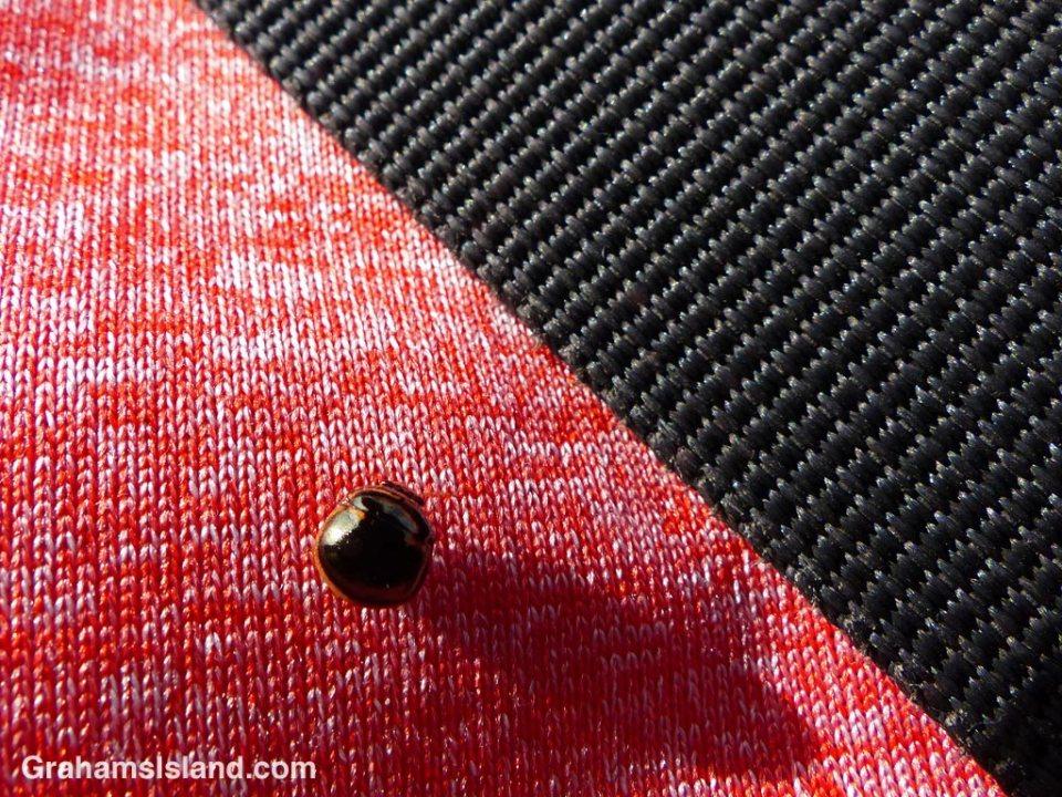 A black stink bug next to a black strap on a red shirt.