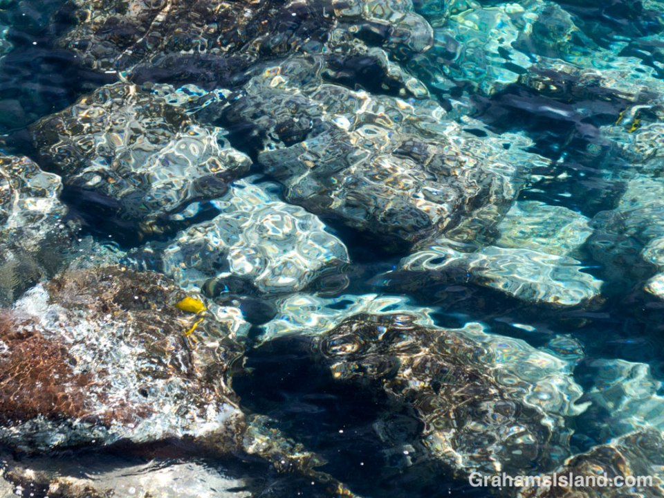 A pair of yellow tang graze on algae growing on rocks in shallow water.