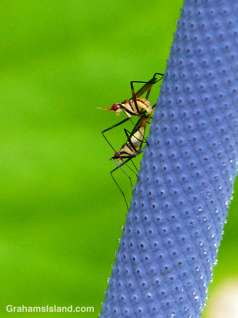 Banana stalk flies mating on the spadix of an Anthurium schlechtendalii