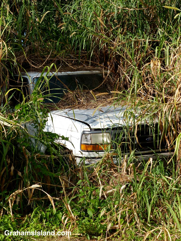 Cane grass and other plants are well on their way to overwhelming this old truck.