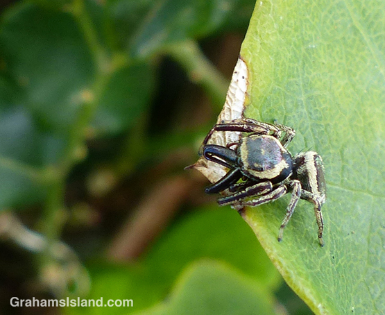 a bronze jumping spider (Eris militaris)
