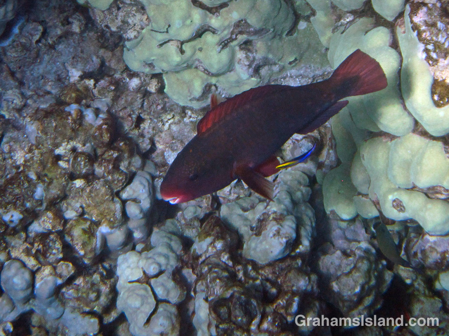 A Hawaiian cleaner wrasse cleans a bullethead parrotfish