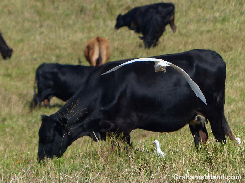 A cattle egret glides in next to a cow