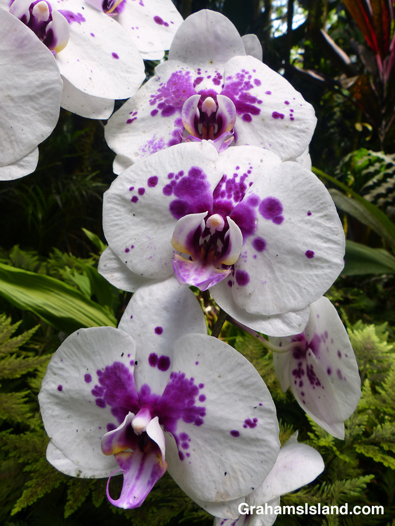 A Doritaenopsis hybrid orchid at Hawaii Tropical Botanical Garden