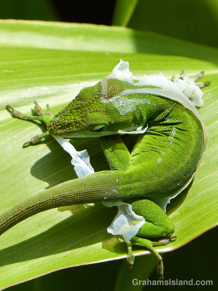 A green anole tears at his shedding skin before eating it
