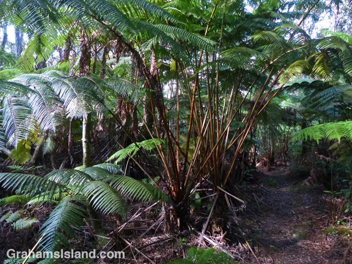 Huge Hapu'u ferns line the forested section of the Nāpau Trail.
