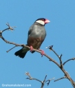 A Java sparrow perches on a branch on the Big Island od Hawaii