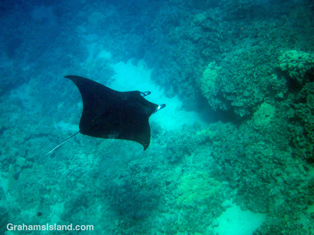 A manta ray glides through the water off the Big Island of Hawaii