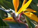 Flexibility is important in nature, as this mourning gecko demonstrates while drinking from a bird of paradise flower.