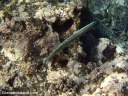 A Pacific trumpetfish changes color to blend in with its surroundings
