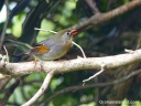 A Red-billed Leiothrix sings on a branch