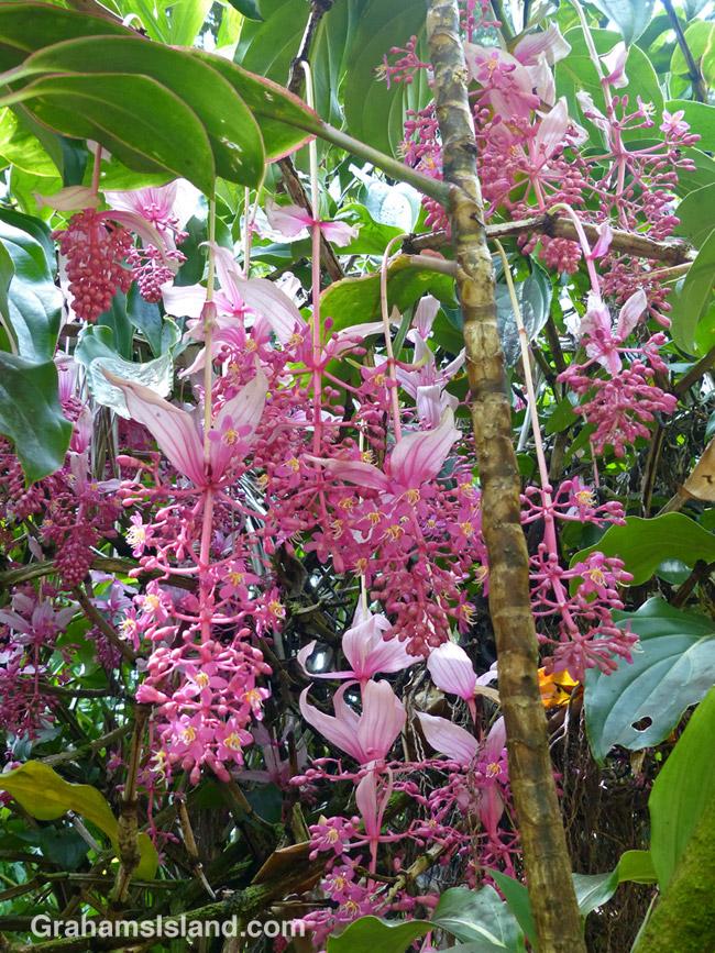 A rose grape blooms in Hawaii Tropical Botanical Garden