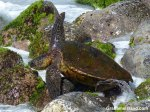 A green turtle is temporarily stranded on a rock.