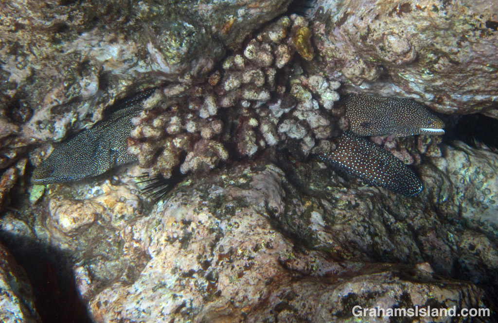 two whitemouth moray eels wedged into the same space behind a clump of coral