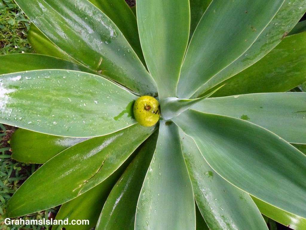 An agave catches a fallen mango.