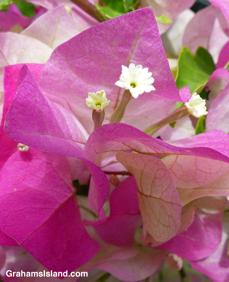 Bougainvillea flowers in bloom
